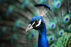 Testa del pavone Fotografia Stock