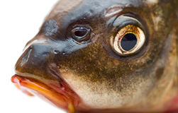Testa del pesce Fotografia Stock