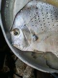 Testa del pesce argenteo con l'occhio triste, solitudine e melancolia, senso di abbandono e tristezza Fotografia Stock