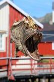 testa del pesce essiccato, Norvegia fotografie stock