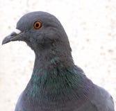 Testa del piccione Fotografia Stock Libera da Diritti