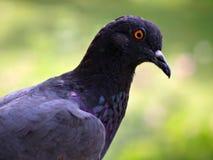 Testa del piccione Fotografie Stock Libere da Diritti