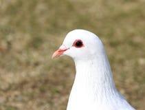 testa del piccione bianco Fotografie Stock Libere da Diritti