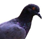Testa del piccione su fondo bianco Fotografie Stock
