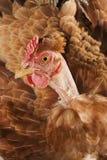 Testa del pollo Immagini Stock