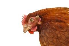Testa del pollo Immagini Stock Libere da Diritti