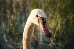 Testa del primo piano dell'uccello bianco del cigno sul lago al tramonto Fotografia Stock
