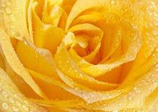 Testa del primo piano della rosa di giallo Fotografia Stock Libera da Diritti