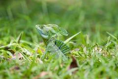 Testa del primo piano del rettile, giovane iguana verde in un prato dell'erba in Costa Rica fotografie stock libere da diritti