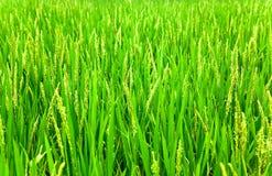 Testa del riso con il fiore Immagini Stock