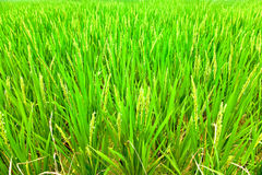 Testa del riso con il fiore Fotografia Stock