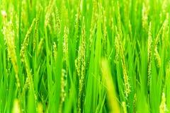 Testa del riso con il fiore Fotografie Stock Libere da Diritti