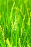 Testa del riso con il fiore Fotografia Stock Libera da Diritti
