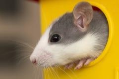 Testa del ritratto del criceto addomesticato bianco e grigio del topo con gli occhi brillanti che guardano dalla gabbia gialla lu fotografia stock