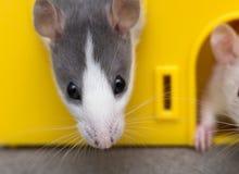 Testa del ritratto del criceto addomesticato bianco e grigio del topo con gli occhi brillanti che guardano dalla gabbia gialla lu fotografie stock
