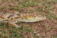 Testa del ritratto del fronte dell'alligatore del caimano dell'alligatore del bambino cammuffata nel selvaggio Fotografie Stock Libere da Diritti