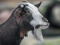 Testa 4 del ` s della capra domestica Fotografia Stock