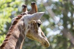 Testa del `s della giraffa Immagine Stock Libera da Diritti