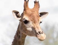 Testa del `s della giraffa Fotografia Stock