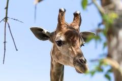 Testa del `s della giraffa Immagini Stock Libere da Diritti