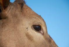 Testa del ` s della mucca sopra il fondo del cielo blu Fotografia Stock