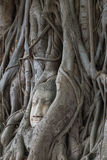 Testa del ` s di Buddha nella radice Ayutthaya thailand Fotografia Stock Libera da Diritti