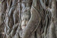 Testa del ` s di Buddha nella radice dell'albero Ayutthaya thailand Immagine Stock Libera da Diritti