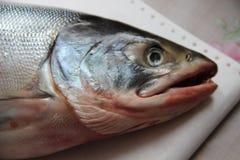 Testa del salmone fresco con la bocca aperta Immagini Stock