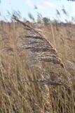 Testa del seme dell'erba Immagine Stock Libera da Diritti