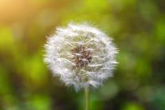 Testa del seme del dente di leone su fondo di erba verde immagini stock libere da diritti