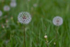 Testa del seme del dente di leone sul fondo dell'erba verde Immagini Stock
