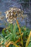 Testa del seme di agapanthus immagini stock