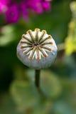 Testa del seme di papavero Fotografia Stock
