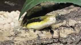 Testa del serpente Fotografia Stock Libera da Diritti
