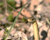 Testa del serpente immagini stock