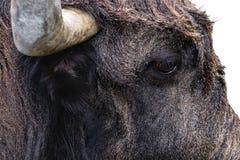 Testa del toro Fotografia Stock