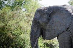 Testa del toro dell'elefante Fotografie Stock
