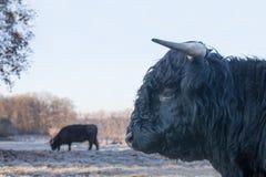 Testa dell'abitante degli altipiani scozzesi scozzese del toro nero con la mucca fuori Fotografia Stock