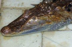 Testa dell'alligatore Immagine Stock