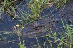 Testa dell'alligatore americano in acqua Immagini Stock Libere da Diritti