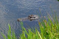 Testa dell'alligatore americano in acqua Immagine Stock