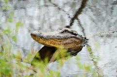 Testa dell'alligatore americano da acqua Immagine Stock