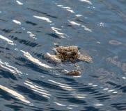 Testa dell'alligatore circondata da acqua di luccichio nei terreni paludosi di Florida Fotografia Stock