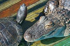Testa dell'alligatore e della tartaruga Immagine Stock Libera da Diritti