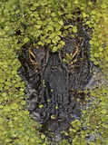 Testa dell'alligatore parzialmente coperta di piccole foglie verdi Immagini Stock Libere da Diritti