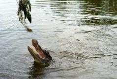 Testa dell'alligatore sopra l'acqua fotografia stock