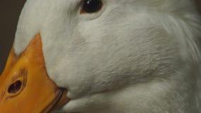 Testa dell'anatra di Pechino che ha rottura, riposante sotto l'ombra Fine in su stock footage