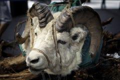 Testa dell'animale cercato legato con le corde immagini stock
