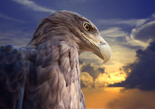 Testa dell'aquila contro il tramonto Fotografie Stock Libere da Diritti