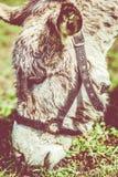 Testa dell'asino Fotografia Stock